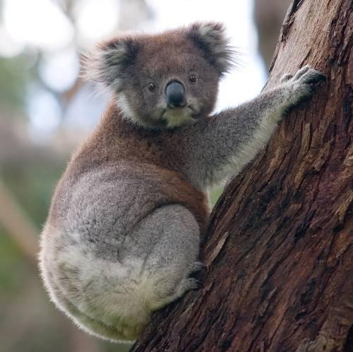 Koala y eucalipto, símbolos de Australia