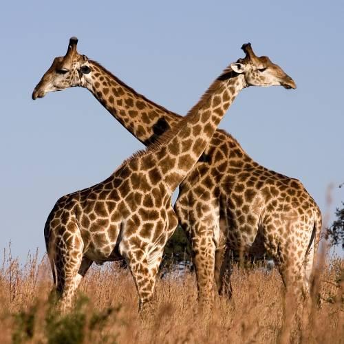 Jirafas en su hábitat natural